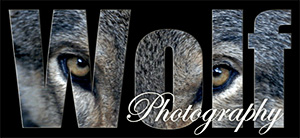 Wolf-Photography